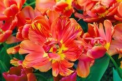 Macro roja y amarilla del primer del flor del tulipán Imágenes de archivo libres de regalías