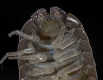 Macro of roly-poly or woodlous bug. Macro of roly-poly bug or woodlous bug genus Armadillidium Royalty Free Stock Photo
