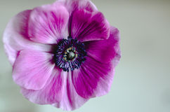 Macro romántica hermosa de la anémona de la flor de la primavera en un fondo blanco foto de archivo libre de regalías