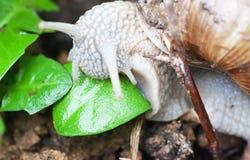 Macro roman snail eats leaf Stock Photos
