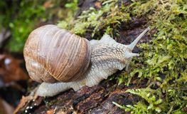 Macro roman snail on forest litter Royalty Free Stock Photography