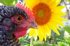 Macro Rooster and Sunflower Royalty Free Stock Photos