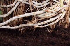 Macro of a root -shallow DOF Stock Photos