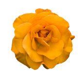 Macro rosa del fiore dell'arancia isolata fotografia stock libera da diritti