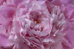 Macro rosa del primo piano di struttura del fondo del petalo del fiore della peonia porpora Fotografia Stock Libera da Diritti