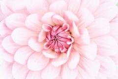 Macro rosa della dalia Fotografia Stock