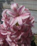 Macro rosa Hyacinth Against Wood immagine stock