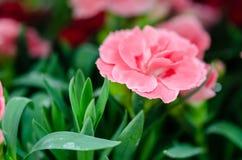 Macro rosada apacible de las flores del clavel foto de archivo libre de regalías