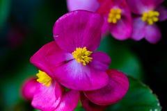 Macro rosada 3 de la begonia Foto de archivo