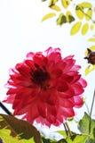 Macro rosada de la dalia Foto de archivo