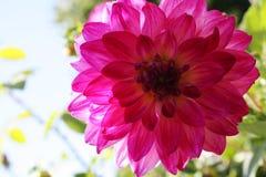 Macro rosada de la dalia Imagenes de archivo