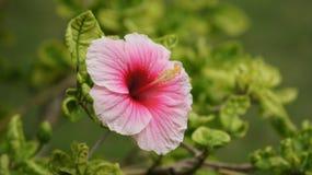 Macro rosada de la flor Fotos de archivo