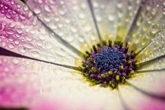 Macro rosada de la flor de la margarita de Gerber con las gotitas de agua en los pétalos Fotografía de archivo