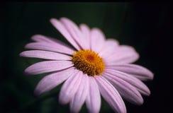Macro rosada de la margarita Fotografía de archivo libre de regalías