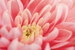 Macro rosada del crisantemo imagen de archivo