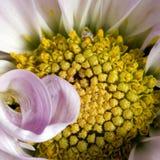 Macro rosada del crisantemo sq Fotografía de archivo