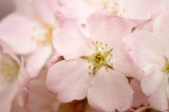 Macro rosada del flor de cereza Imagen de archivo libre de regalías