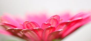 Macro rosada del Gerbera Foto de archivo