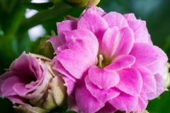Macro rosada del kalanchoe Fotografía de archivo