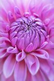 Macro rosada enfocada suavidad de la flor de la dalia foto de archivo