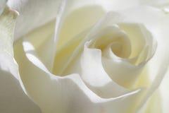 Macro of the rose Stock Image
