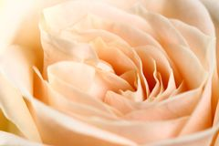 Macro rose Royalty Free Stock Photography