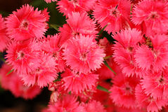 Macro rose Images libres de droits