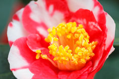 Macro of a rose camellia japonica Royalty Free Stock Photos
