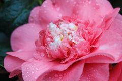 Macro of a rose camellia japonica Royalty Free Stock Image