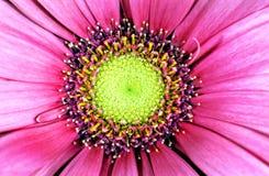 Macro rose d'aster de porcelaine Image libre de droits