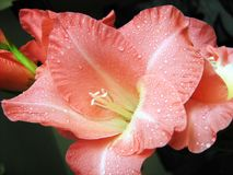 Macro rose de fleur de hybridus de glaïeul avec des baisses de rosée - lis d'épée photos libres de droits
