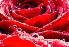 Macro rose de rouge avec des baisses de rosée Photographie stock