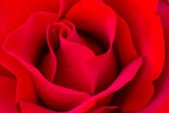 Macro Rose Images en Rose Garden Photographie stock libre de droits