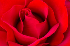 Macro Rose Images in Rose Garden Royalty Free Stock Photography