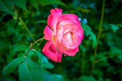 Macro rose with leaf stock photos