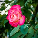 Macro rose with leaf royalty free stock photography