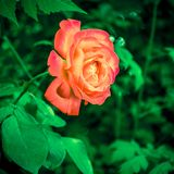 Macro rose with leaf royalty free stock image