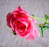 Macro rose with leaf royalty free stock photos