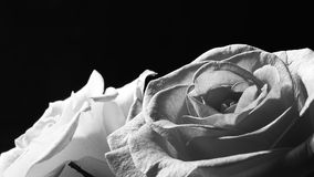 Macro Rose, Mobile Wallpaper, Black & White. Beautiful portrait of Rose is of the genus Rosa, in the family Rosaceae. The flowers have petals is divided into two royalty free stock photography
