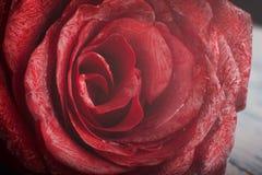 Macro rose Royalty Free Stock Photo