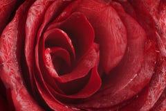 Macro rose Stock Photography