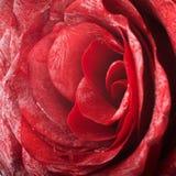 Macro rose Royalty Free Stock Image