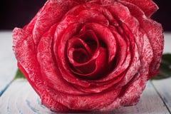 Macro rose Stock Photo