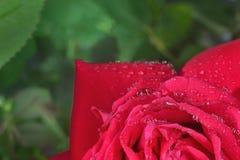 Macro  rose Royalty Free Stock Images