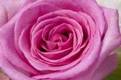 Macro Rose rose Photographie stock libre de droits