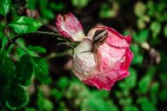 Macro rose with snail after rain stock photos