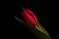 Macro Rose stock image
