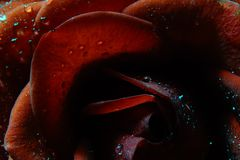 Macro Rose, Water Droplets. Beautiful portrait of Rose is of the genus Rosa, in the family Rosaceae. The flowers have petals is divided into two distinct lobes stock photos