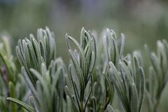 Macro rosemary or lavender leaves 2 stock images