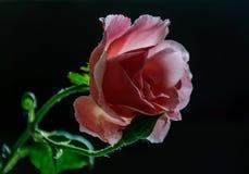 Macro roses avec la feuille images libres de droits